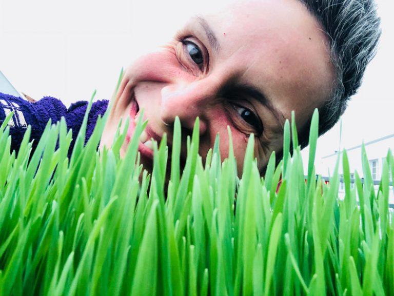 Gereiftes Weizengras